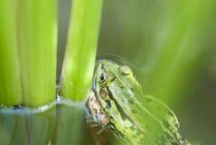 一只豹子青蛙(蛙属)在池塘。 库存图片