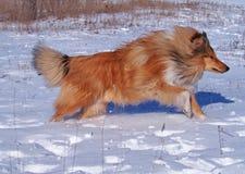 一只赶紧的大牧羊犬 免版税库存图片