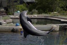 一只跳的海豚 免版税库存图片