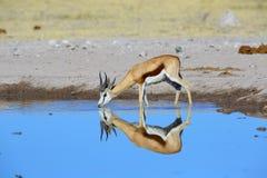 一只跳羚的反射在水中 库存照片