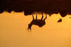 一只跳羚的反映在Etosha国家公园 库存照片