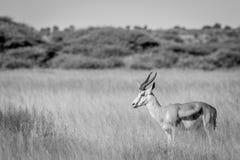 一只跳羚的旁边外形在长的草的 免版税库存图片