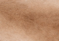 一只跳羚羚羊的外套作为背景的 免版税库存照片
