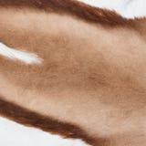 一只跳羚羚羊的外套作为背景的 免版税库存图片