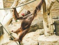 一只跳跃的猴子在动物园里 库存照片