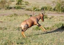 一只跳跃的遮阳帽羚羊,马塞语玛拉 库存图片