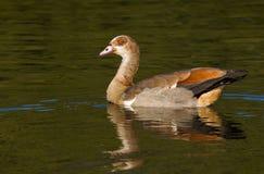 一只轻松的埃及鹅 免版税库存照片