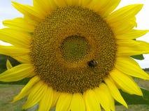 一只辛勤土蜂会集在一个慷慨的向日葵的甜花蜜 图库摄影