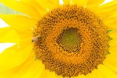 一只辛勤蜂会集在向日葵的蜂蜜 免版税图库摄影