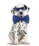 一只达尔马希亚小狗佩带的玻璃和坐的正面图 库存图片