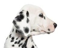 一只达尔马希亚小狗的外形的特写镜头,被隔绝 免版税库存图片