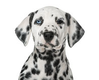 一只达尔马希亚小狗的特写镜头与虹膜异色症的 库存照片