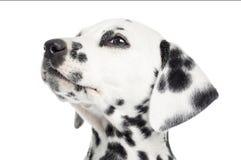 一只达尔马希亚小狗的特写镜头,查寻,被隔绝 图库摄影