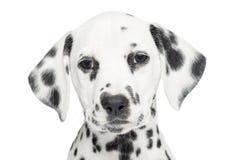 一只达尔马希亚小狗的特写镜头,看照相机,被隔绝 库存照片