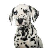 一只达尔马希亚小狗的特写镜头 免版税库存图片