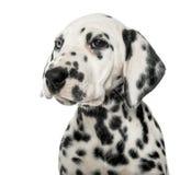 一只达尔马希亚小狗的特写镜头 免版税库存照片
