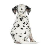 一只达尔马希亚小狗的背面图,开会,被隔绝 库存照片