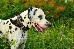 一只达尔马提亚狗的画象在一个衣领的步行的在森林里 免版税库存照片