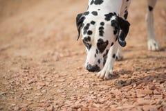 一只达尔马提亚狗 免版税库存照片