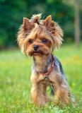 一只迷人的小狗 库存图片