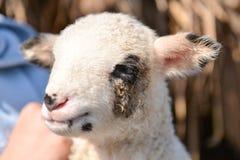 一只逗人喜爱和可爱的小羊羔的Potrait在一个人的胳膊的 库存照片