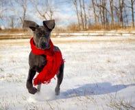一只逗人喜爱的丹麦种大狗小狗跑往在雪的观察者 免版税图库摄影