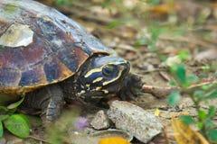 一只逗人喜爱的乌龟,取暖在阳光下,在导致池塘` s岸的一个岩石倾斜附近,在一个豪华的绿色泰国公园 免版税库存图片