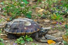 一只逗人喜爱的乌龟,取暖在阳光下,在导致池塘` s岸的一个岩石倾斜附近,在一个豪华的绿色泰国公园 库存照片