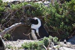 一只逗人喜爱的公驴企鹅的特写镜头在冰砾的在开普敦靠岸在南非 免版税图库摄影