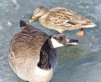 一只逗人喜爱的加拿大鹅和一只野鸭的照片在冰 库存照片