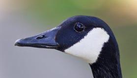 一只逗人喜爱的加拿大鹅的美好的被隔绝的图象 库存图片
