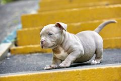 一只逗人喜爱的小狗在步使用 第一步生活,动物,新一代的概念 小狗美国人 免版税图库摄影