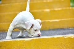 一只逗人喜爱的小狗在步使用 第一步生活,动物,新一代的概念 小狗美国人 免版税库存图片