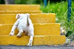 一只逗人喜爱的小狗在步使用 第一步生活,动物,新一代的概念 小狗美国人 库存图片