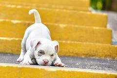 一只逗人喜爱的小狗在步使用 第一步生活,动物,新一代的概念 小狗美国人 免版税库存照片