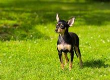 一只逗人喜爱的小狗在绿草站立 免版税库存照片