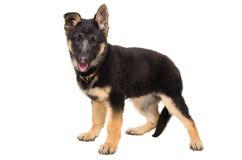 一只逗人喜爱的小狗德国牧羊犬的画象 库存照片