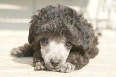 一只逗人喜爱的小狗的殷勤眼睛 库存图片