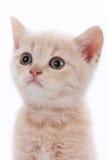 一只逗人喜爱的小猫的面孔 库存照片