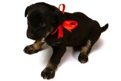 一只逗人喜爱的小的小狗的画象与红色丝带,特写镜头的 免版税库存照片