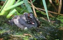 一只逗人喜爱的小的格里布Tachybaptus ruficollis小鸡在羽毛拥抱了在它的有它的顶头poki的父母之一背面 库存图片