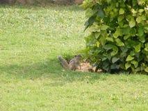一只逗人喜爱的小的灰鼠 库存照片