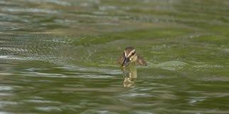一只逗人喜爱的小的野鸭鸭子 库存图片