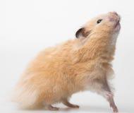 一只逗人喜爱的小的仓鼠 库存照片