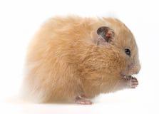 一只逗人喜爱的小的仓鼠 免版税库存照片