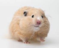 一只逗人喜爱的小的仓鼠 库存图片