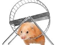 一只逗人喜爱的小的仓鼠 免版税图库摄影