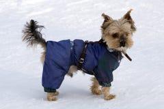 一只逗人喜爱的小的shih tzu小狗的侧视图穿戴了象一个皮条客,白色背景的 免版税库存图片