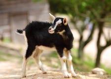 一只逗人喜爱的小羊羔 库存照片