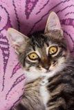 一只逗人喜爱的幼小灰色猫 免版税库存照片